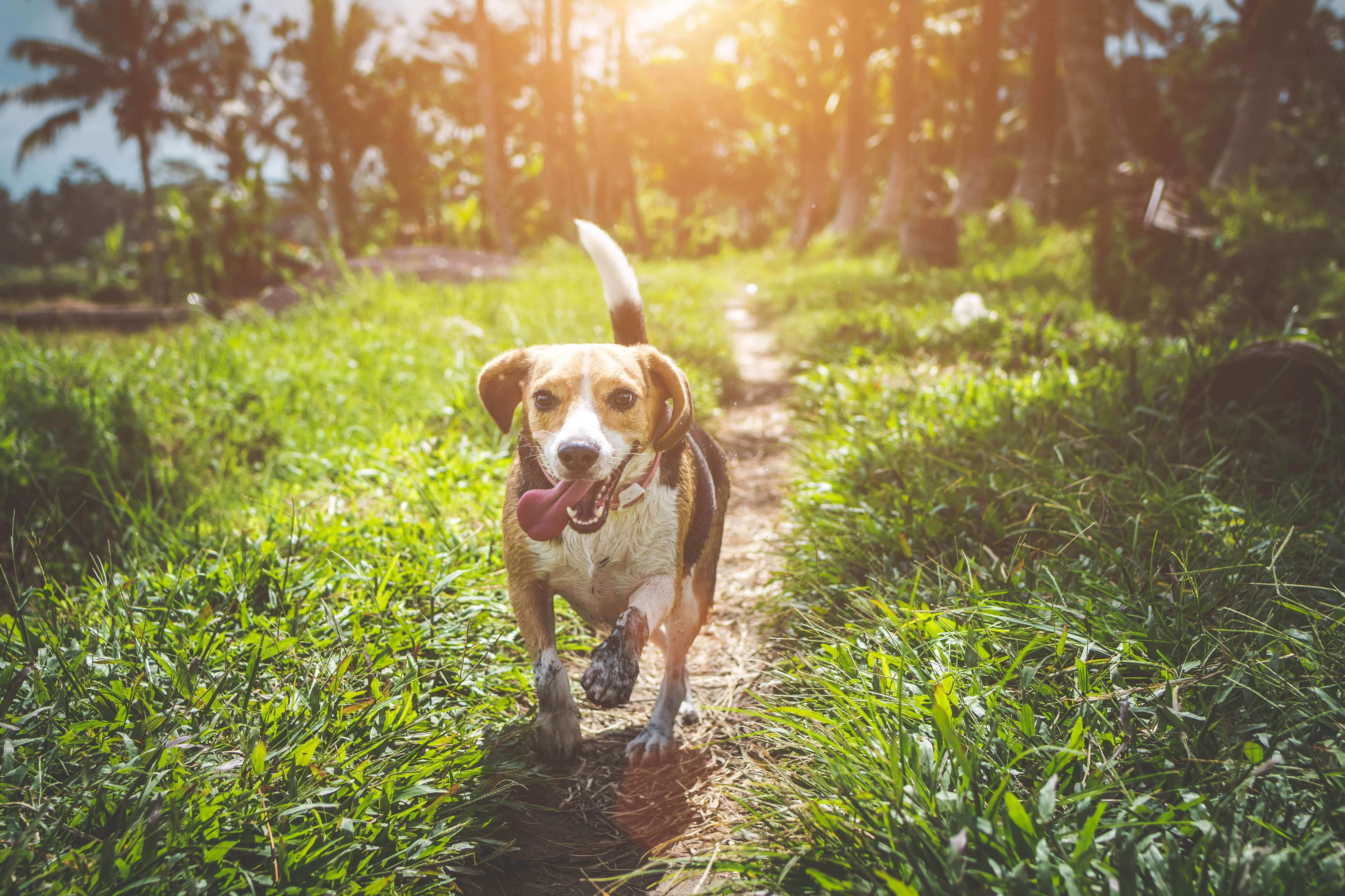 Dog Deworming Beagle