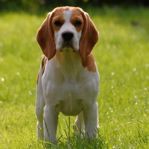Beagle Dog Breed Info