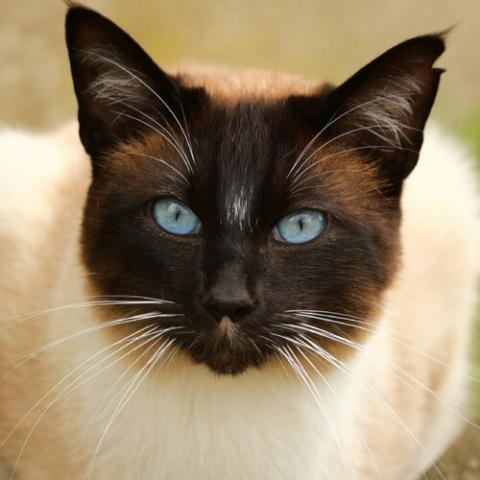 Siamese Cat Breed Info